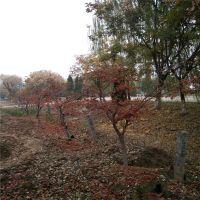正宗日本红枫、山东供应日本红枫、品种纯正、价格适中、冠幅漂亮
