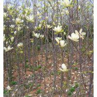 江苏白玉兰种植基地 卖1米2米3米高白玉兰小苗 订购电话15851183372