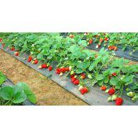 哪里草莓品种质量好.好吃的红颜草莓.优质章姬草莓苗批发基地