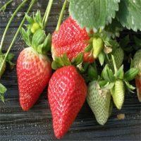 批发甜宝草莓苗、成苗四叶一芯草莓苗价格哪里便宜山东银田苗圃基地