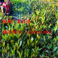 双刃绿篱机 汽油二冲程园林绿化养护 绿篱机
