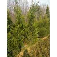 2米高龙柏咨询价格2.2米高龙柏种植地价格