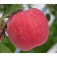 神富6号苹果苗价格 神富6号苹果苗介绍