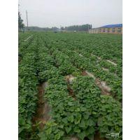 2017年红薯苗每株0.15元