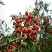 花椒苗花椒种供应 志森园艺免费提供花椒苗种植技术