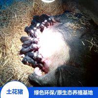 湖南宁乡土花猪生态健康散养种猪精排瘦肉价格合理欢迎选购