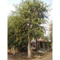 供应各种丛生朴树 40-50-60公分朴树 多杆丛生蒙古栎-丛生五角枫