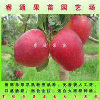 五A级鲁丽苹果苗供应乔化苹果苗