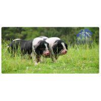 500元领养仔猪 纯种宁乡土花猪 野生放养 肉质鲜美 厂家