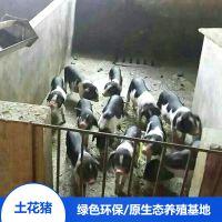湖南宁乡土花猪生态野生供应 宁乡猪苗野猪排骨厂家直销