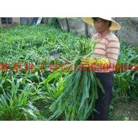 哪里有卖墨西哥玉米种子的