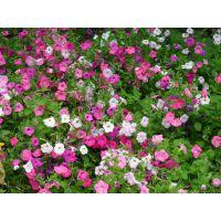 山东小区绿化常用绿化苗木地被灌木小苗租摆花卉花海花卉基地一手供应
