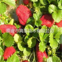 金莓草莓苗价格 金莓草莓苗 新品种草莓苗介绍