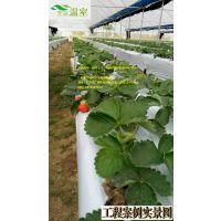 草莓管理关键技术,建设草莓大棚咨询芳诚温室