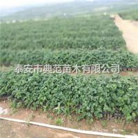 达赛莱克特草莓苗价格 达赛莱克特草莓苗产地批发