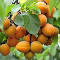 出售123456年杏树 出售3公分杏树 供应3公分杏树 出售防冻耐寒杏树