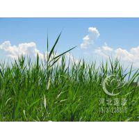 供应芦苇种苗,白洋淀芦苇苗,芦苇种植,湿地绿化