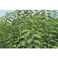 美早樱桃苗 吉塞拉矮化樱桃苗 樱桃苗的根系有哪些