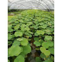 供应水生植物,水生植物种植基地