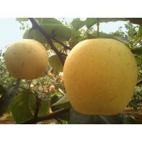黄冠梨树苗新报价 4公分黄冠梨苗多少钱