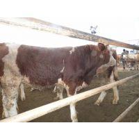 山东肉牛养殖厂 云南肉牛 四川肉牛养殖场 肉牛价格