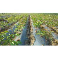亳州油用牡丹苗种植方法 油用牡丹种子批发
