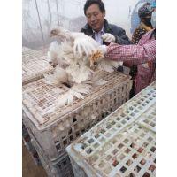 青年鸡周转笼,土鸡用运输笼,大鸡笼