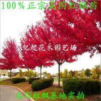 正宗美国红枫小苗秋火焰、红点红枫现货充足园林绿化
