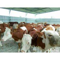 西门塔尔牛能长多重