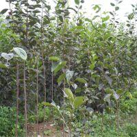 融熹果树批发基地 优质柿子树苗 梨树苗 桃树苗 1公分2 3 4公分柿子苗哪里买 成活率高