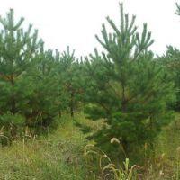 围场云杉出售15512361144围场绿化苗木