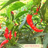 【限量2千斤】2017年新干辣椒零售批发 个体自种干辣椒