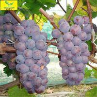 葡萄树苗价格 厂家批发供应 保湿邮寄 挂果多 生长快 价格低 早熟葡萄树苗