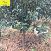 鸡心果树高度3.5米以上 地径3公分-8公分鸡心果树 绿化观赏型树种 果子可食用
