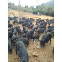 安徽藏香猪哪里有出售种猪的么
