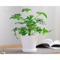 武汉吸甲醛的绿植铁线蕨盆栽,净化空气适合摆放在桌上,武汉送货上门