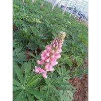 羽扇豆种植基地|羽扇豆批发价格