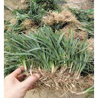 低价批发销售麦冬草 北京绿家园林