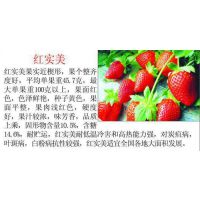 三叶一心红实美草莓苗种苗 山东草莓苗热销中
