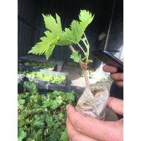 葡萄树种植 如何种植出高产量的葡萄树 葡萄树种植技巧