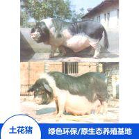 流沙河宁乡土花猪生态健康散养备孕母猪猪肉做法大全厂家特卖