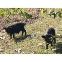 福建建瓯市藏香猪养殖技术藏香猪苗价格