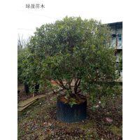福建杨梅大量供应,园林风景树,自产自销
