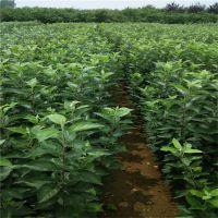 泰安瑞康苗木供应嫁接红色之爱苹果树苗 2年结果产量高