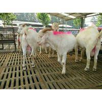 2017南方***新波尔山羊养殖 白山羊价格