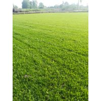 草坪基地 混播草坪 台湾二号草坪