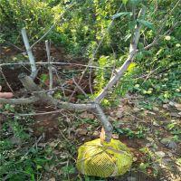 6月早熟春雪桃苗基地 1.5公分粗1年桃树苗