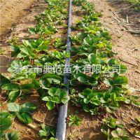 宁馨草莓苗价格 宁馨草莓苗批发供应 山东草莓苗