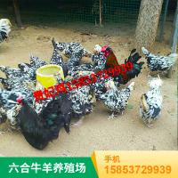 山东济宁 供应观赏药用七彩山鸡 华旺特种养殖场直销