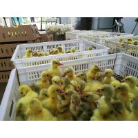 鹅苗供应,河南鹅苗价格,哪里有卖鹅苗的,南阳鹅苗孵化批发基地